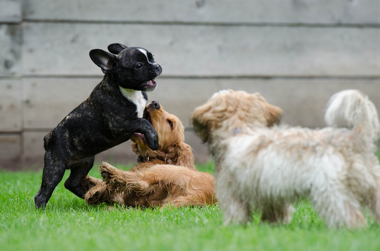 puppies-playing-on-grass